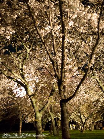 sakura2012_02.jpg