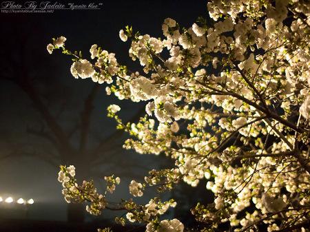 sakura2012_03.jpg