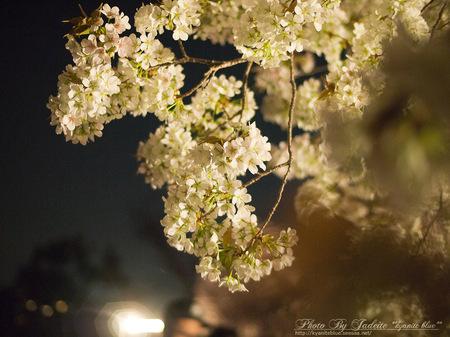 sakura2012_04.jpg