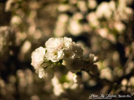 sakura2012_05.jpg
