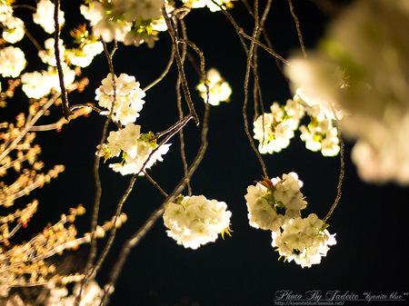 sakura2012_07.jpg