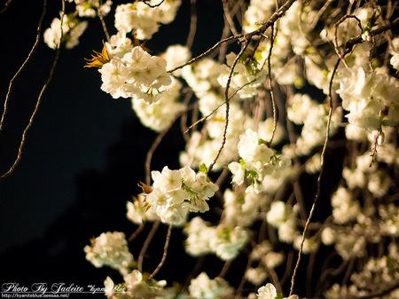 sakura2012_08.jpg