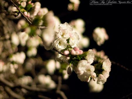 sakura2012_10.jpg