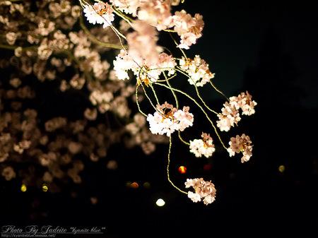 sakura2012_13.jpg