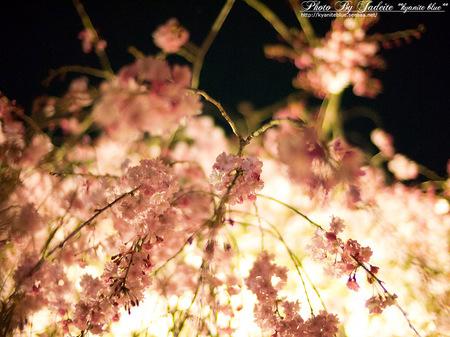 sakura2012_19.jpg